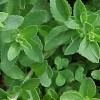 Stevia (rebaudiana). Stevia, a Remarkable herb we are growing at Tilford cottage garden.