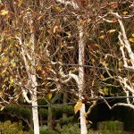 betula in autumn