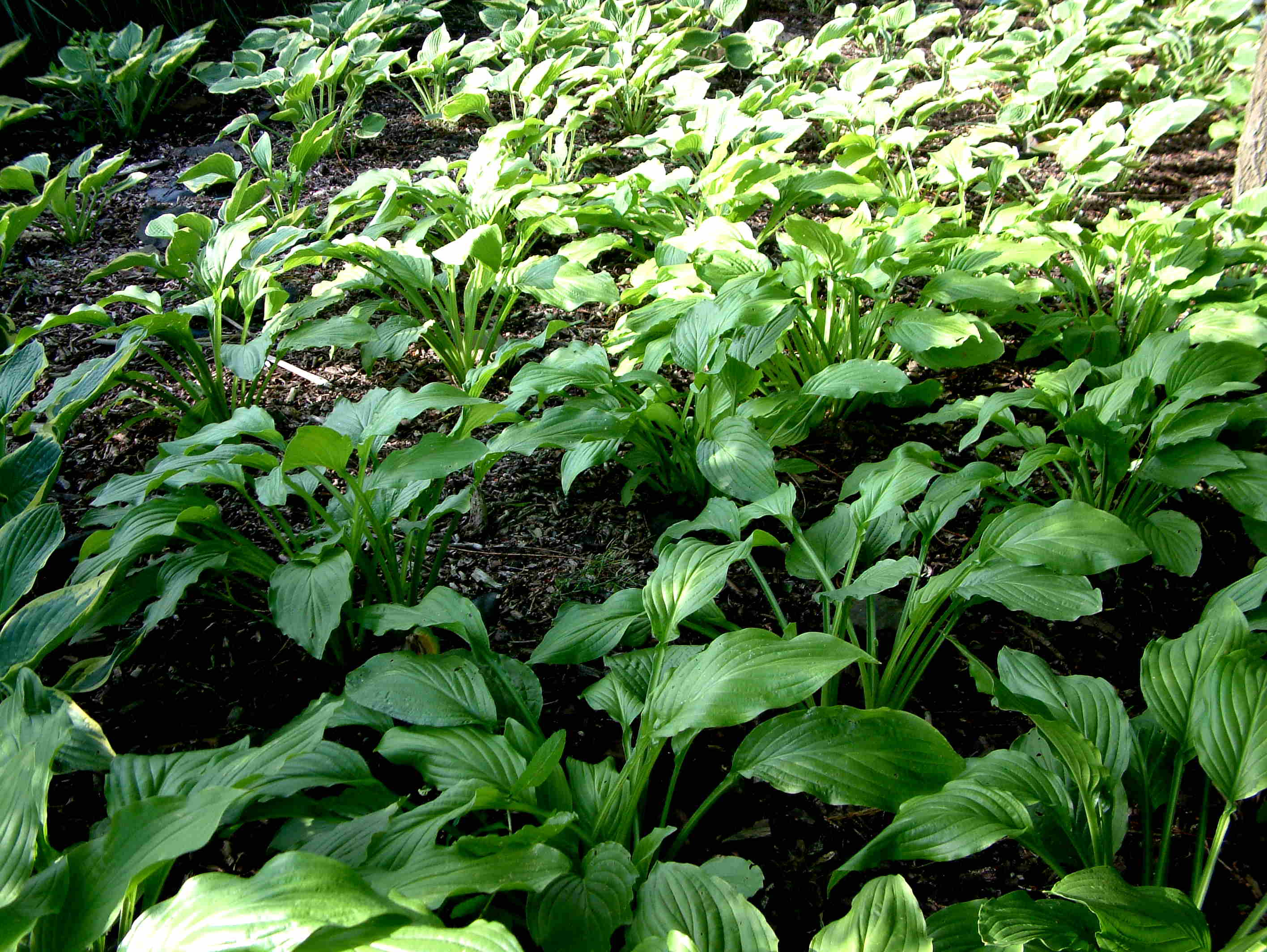 How To Prevent Slug Damage To Your Hostas Tilford Cottage Garden