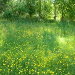 river meadow in bloom